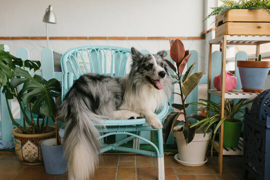 Cute fluffy border collie with gray and white fur lying on couch in living room with wooden shelves on blurred background