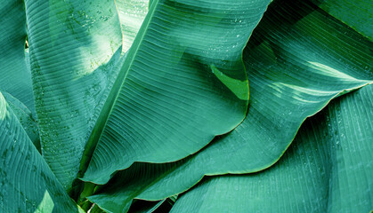 Wall Mural - abstract banana leaf texture, dark green foliage nature background, tropical leaf