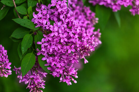 Lilac - blossoming branch, spring tree