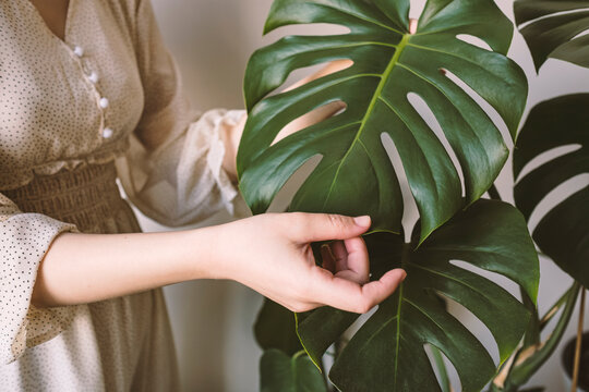 Close-up of woman's hand in silk dress touching leaves Monstera deliciosa or Swiss cheese plant. Stylish and minimalistic urban jungle interior. Houseplant care concept.