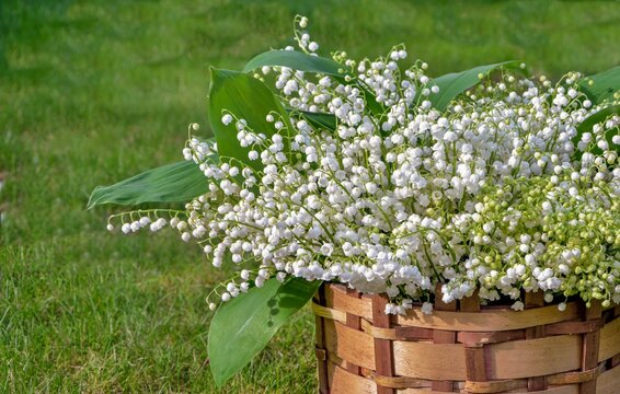 A huge bouquet of fresh lilies of the valley in a wicker basket on the green grass on a sunny bright day close-up.