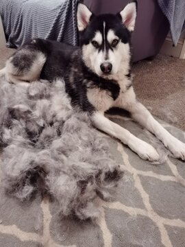 Dog grooming at home. Large adult dog laying down after being groomed. Lots of fur from undercoat of domestic pet shedding it's winter coat. Male husky animal blowing his coat ready for summer season.