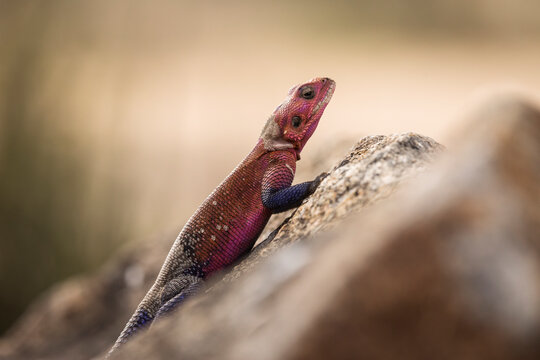 Colorful agama reptile during safari in National Park of Serengeti, Tanzania. Wild nature of Africa.