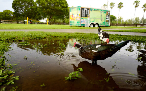 Black and white muskovy duck feeding and drinking water from a flooded tropical park road after a heavy storm with a blurred ice cream trailer in the background