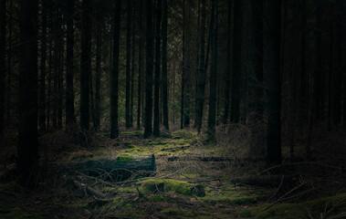 Pine woodland scene