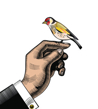 The Goldfinch. The male hand on which the goldfinch sits. Vintage engraving stylized drawing. Vector illustration.