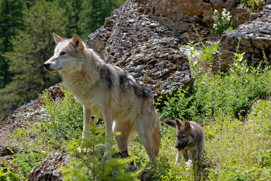 USA, Montana. Tundra wolf mother with pup in controlled environment.