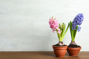 Beautiful hyacinth flowers in pots on wooden table. Space for text