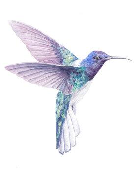 Hummingbird watercolor drawing. Bright multicolor small tropical bird. Hummingbird with bright plumage. Flying bird. Hummingbird Watercolor Painting
