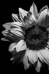 Kwiat słonecznika portret czarno-biały.