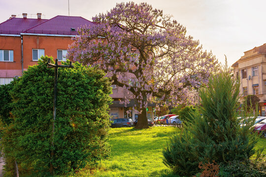 uzhhorod, ukraine - 01 MAY 2018: paulownia tree in the town center. big blossoming tree on the square among old architecture. popular tourist attraction