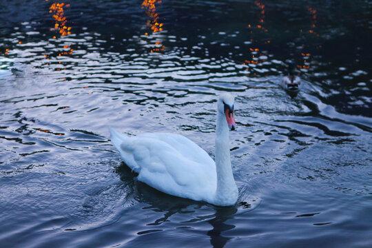 White whooper swan-Cygnus cygnus on the lake with blue dark water background. beautiful elegant royal bird swimming on a Lake. Swan fowl large bird white bird swan in water with duck
