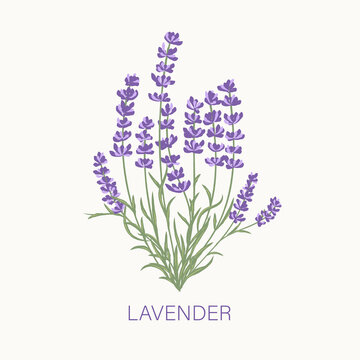 Fresh cut fragrant lavender plant flowers bunch, realistic icon isolated vector illustration.