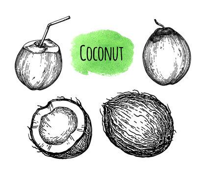 Ink sketch of coconut.