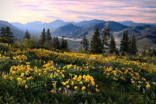 Anica flowers in meadows by snowcapped mountains. Medicinal homeopathic plant.  North Cascades National Park. Washington. USA