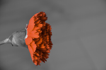 Obraz goździk - fototapety do salonu