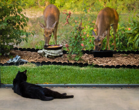 Black cat staring at two deer eating from corn feeders in our backyard.