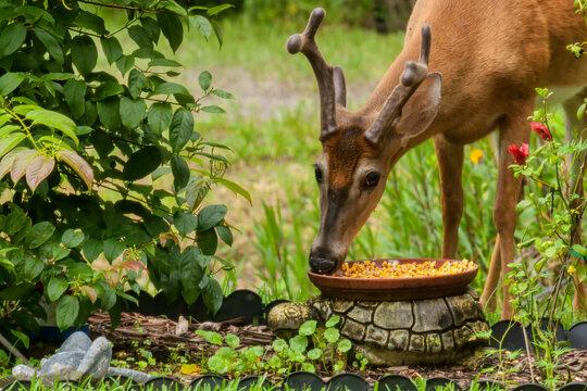 Deer Feeding in Backyard