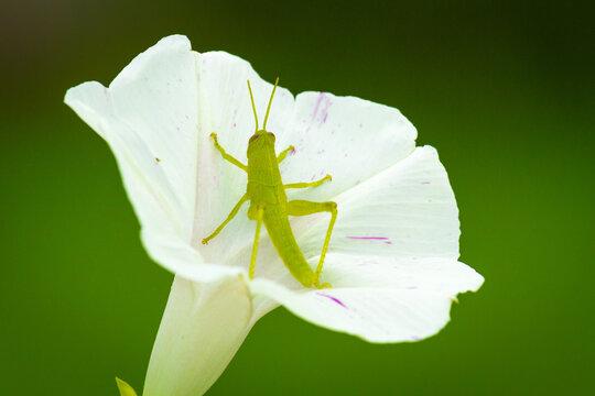 Grasshopper nestled down into a Morning Glory flower.