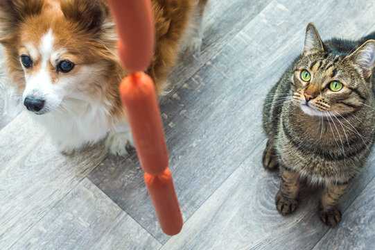 hungry dog and cat look at a sausage. Pet food concept