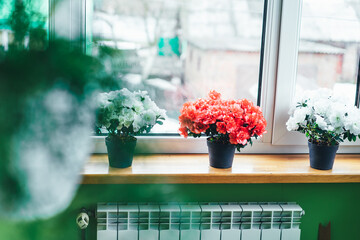 Red and white Indian azaleas on the windowsill. Home mini potted plants