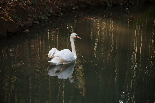 White swan on the pond. A big and beautiful bird.