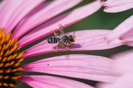 Pugnacious Leafcutter Bee on Echinacea Flowers