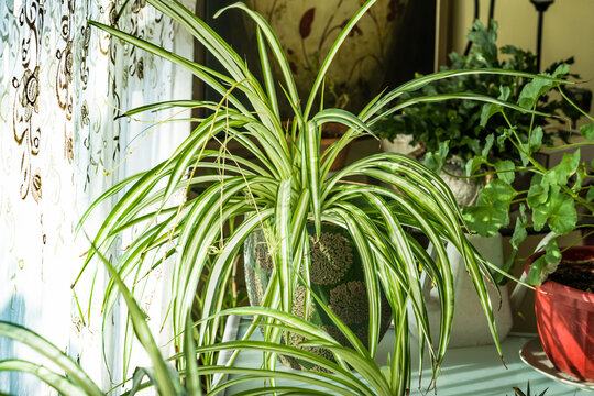 Chlorophytum comosum houseplant in house