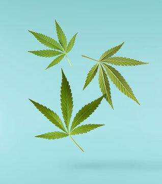 marijuana canabis leaf on field ganja farm sativa leaf weed