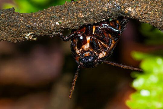 Madagascar hissing cockroach. Gromphadorhina portentosa , also known as the Madagascar giant cockroach