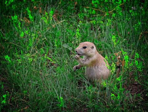 Prairie Dog, Theodore Roosevelt National Park