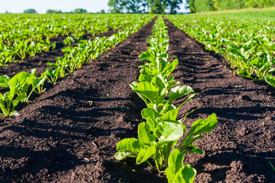Young sprouts of sugar beet on the field.