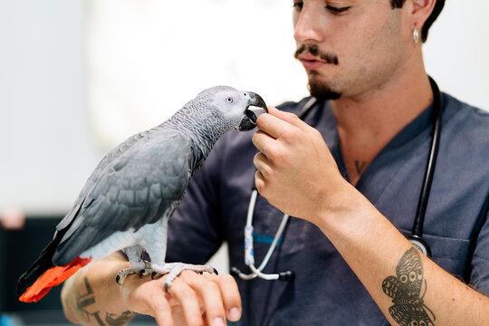 Vet Examining African Grey Parrot
