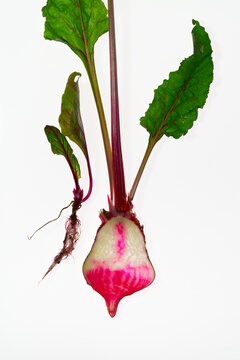 Beetroot Plant Cross-section