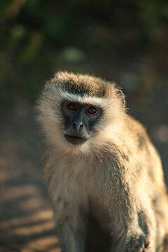 Portrait of a Small Monkey