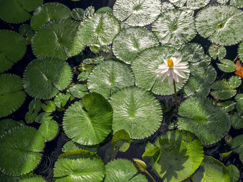Lily pads on a pond with a water lily flowering