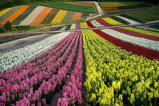 Beautiful flower field, in Japan
