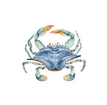 blue crab watercolor illustration in marine style. hand painted on white background