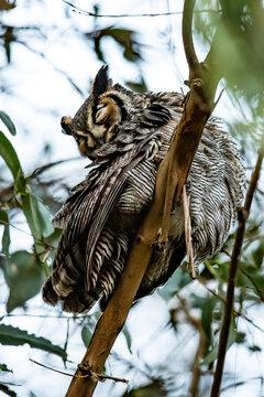 An Owl Surveys his Territory