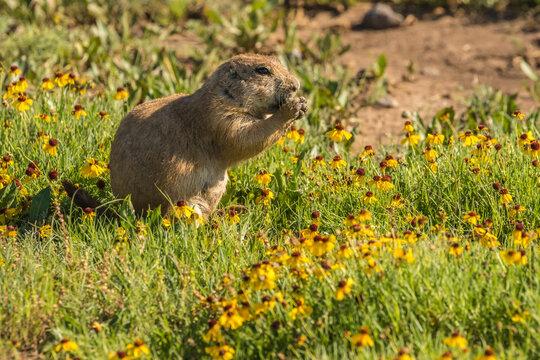 USA, Oklahoma, Wichita Mountains National Wildlife Refuge. Prairie dog and wildflowers.