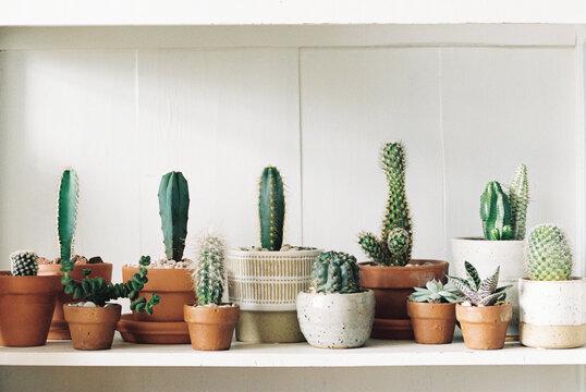 Cacti on white shelf