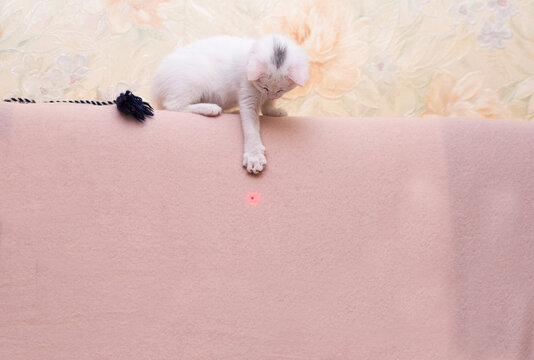 white funny kitten plays, catches a laser pointer