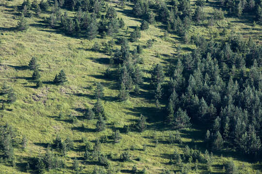 Pine trees on a hill