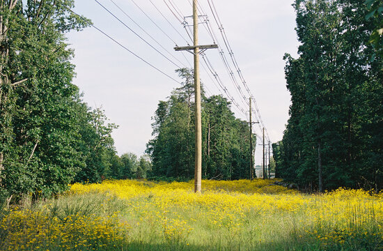 Yellow flowers with power lines