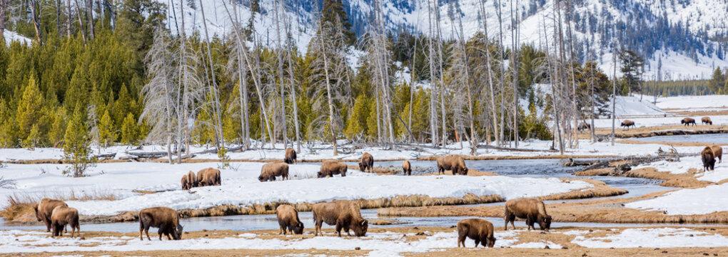 buffalo herd grazing in winter