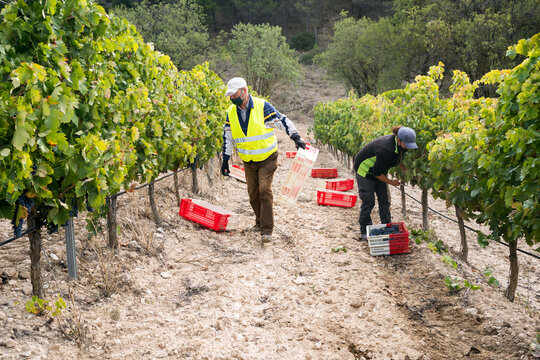 Labourers Working On A Vineyard.