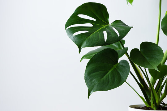 Beautiful home flower monstera deliciosa on a gray wall background. Large leaves of the Monstera home plant