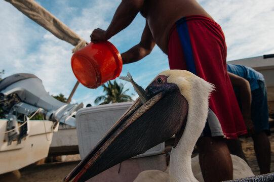 pelican's life in Acapulco, Mexico