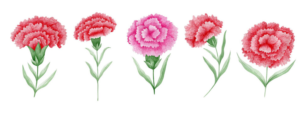 Set of watercolor carnations isolated on white background.