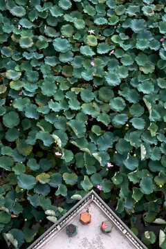 Part of a beautiful lotus pond in summer. Overhead angle